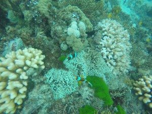 Nemo, clownfish, Great Barrier Reef, GoPro Hero 4, Turtle, Underwaterlife, Selfieturtle, Scubadiving, Snorkeling, Adventure, Backpacking, Campervan, Cairns, Whitsundays