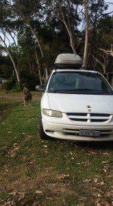 Kangaroo, adventure, road trip, Australia