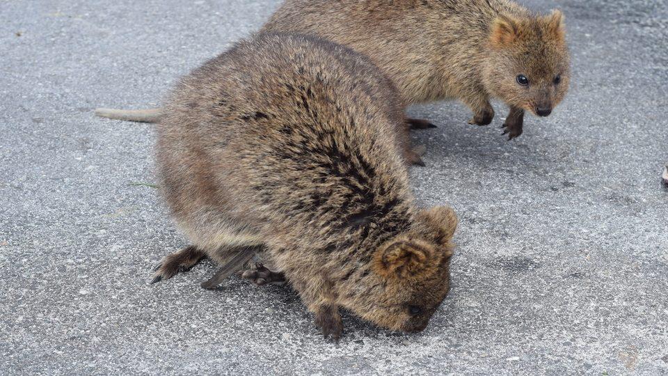 Rottnest Island, Quokkas, Adorable, Australia, Perth, CHAPTERTRAVEL