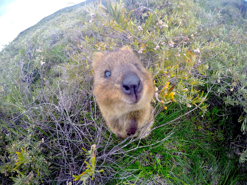 Rottnest Island, Perth, Coastline, CHAPTERTRAVEL, Quokka, Turquoise Waters, Perfect Water, Australia, Adventure, Australian Wildlife, Joey, Pouch