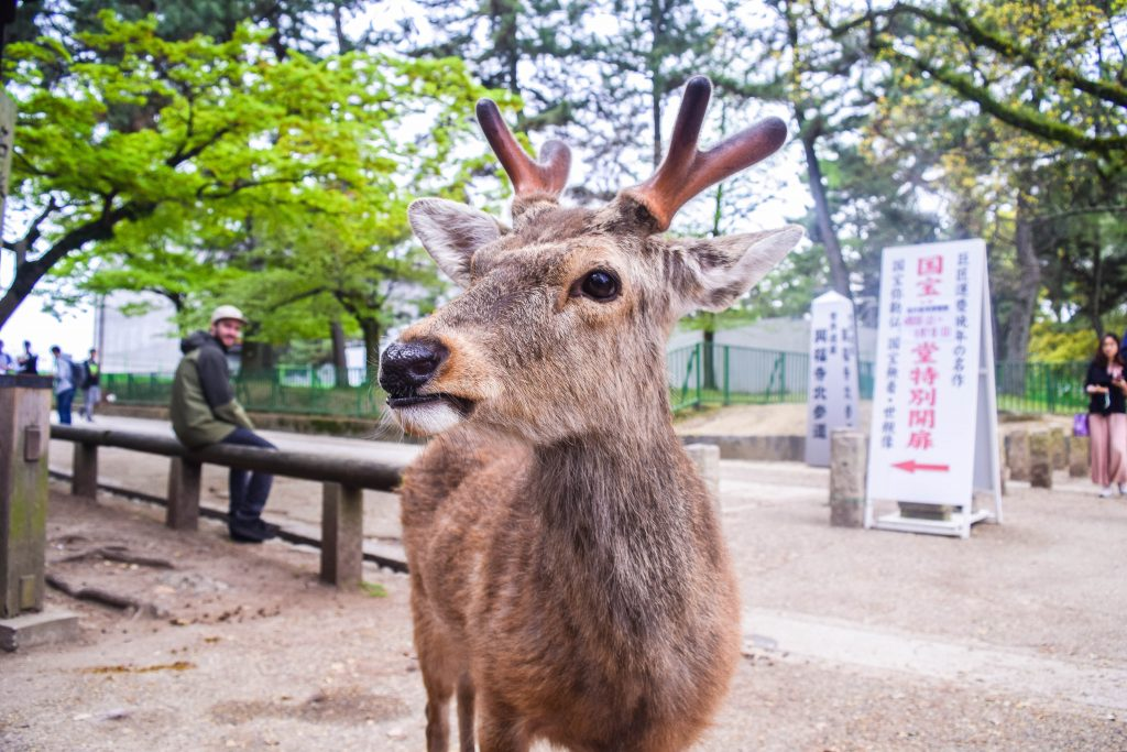 Things to do in Osaka, Nara Park, Deer