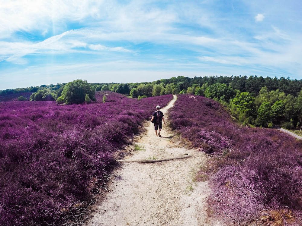 Find more than 15 cool day trips in the Netherlands, including several day trips from Amsterdam or Rotterdam. This photo was taken at the beautiful Veluwezoom, with the heather in bloom. Because the Netherlands offers more than merely the famous canals of Amsterdam. In this article you can find trips to cities like Rotterdam, The Hague, Kinderdijk, Zaanse Schans, Volendam and more!