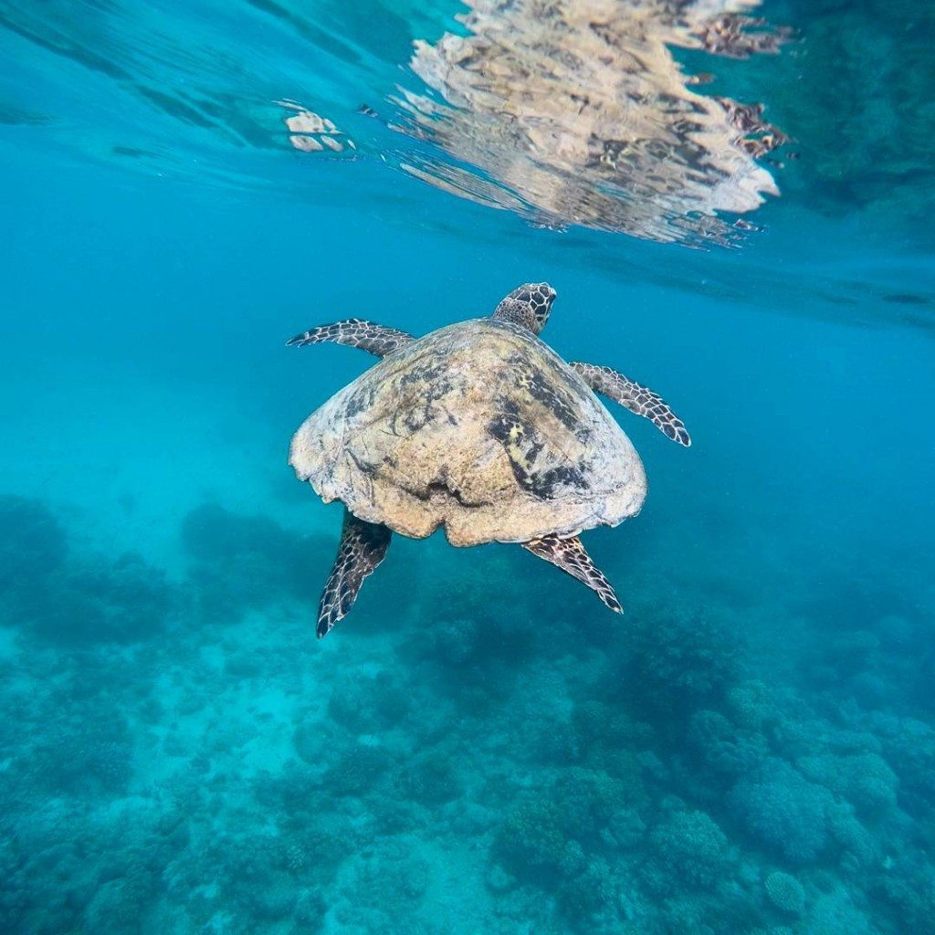 We had an amazing time at the Great Barrier Reef and swam with 5 turtles. This turtle seemed to show us the way around! Australia is amazing and has so much beautiful wildlife. This turtle encounter was definitely one of our hightlights