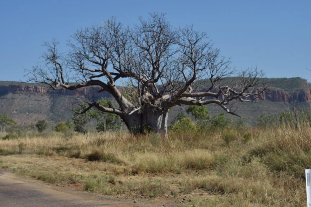 Boab Tree, El Questro, CHAPTERTRAVEL, Adventure, Australia, Gibb River Road, Kimberley Region