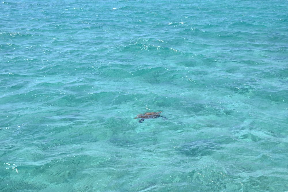 Coral Bay Ecotours, Marine Ecotour, CHAPTERTRAVEL, Ningaloo Reef, Coral Bay, Adventure Travel, Manta Rays, Dutch Bloggers, Travelbloggers, Australia, Australian Adventures, Turtles