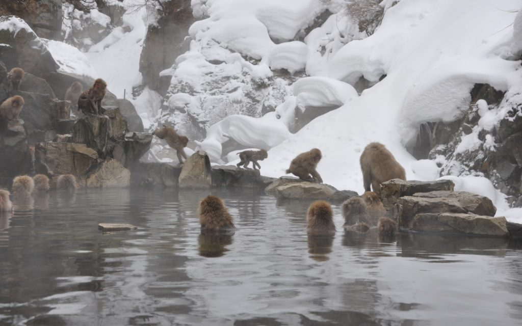 Jigokudani Snow Monkey Park is located in the Nagano prefecture of Japan. After viewing the snow monkeys, you can explore the nearby town of Yamanouchi and the natural beauty of the surrounding area.